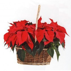 Cesta Planta Navidad