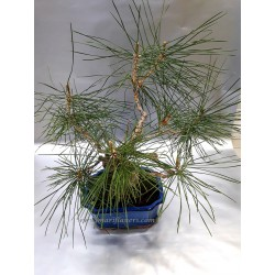 Pinus Thun
