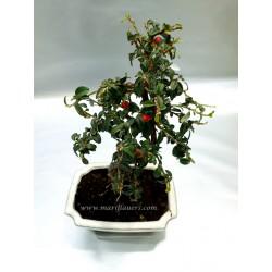 Piracanta Cotoneaster
