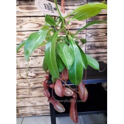 Planta Carnivora Nepenthes