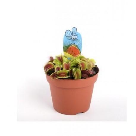 Planta Carnivora Dionaea