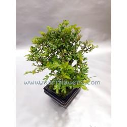 Zanthoxylum Piperitum