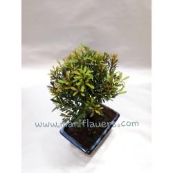 Syzigium Buzifolium