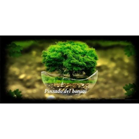 Pinzado del bonsai