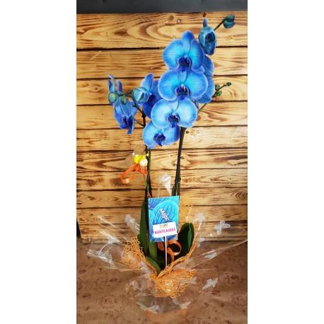 Phalaenosis Azul