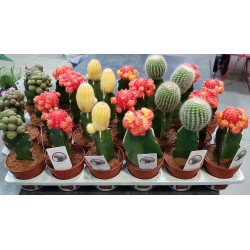 Cactus Japan